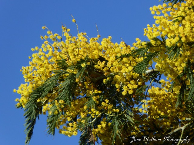 Mimosa blossoms. [Explored 7.2.21].