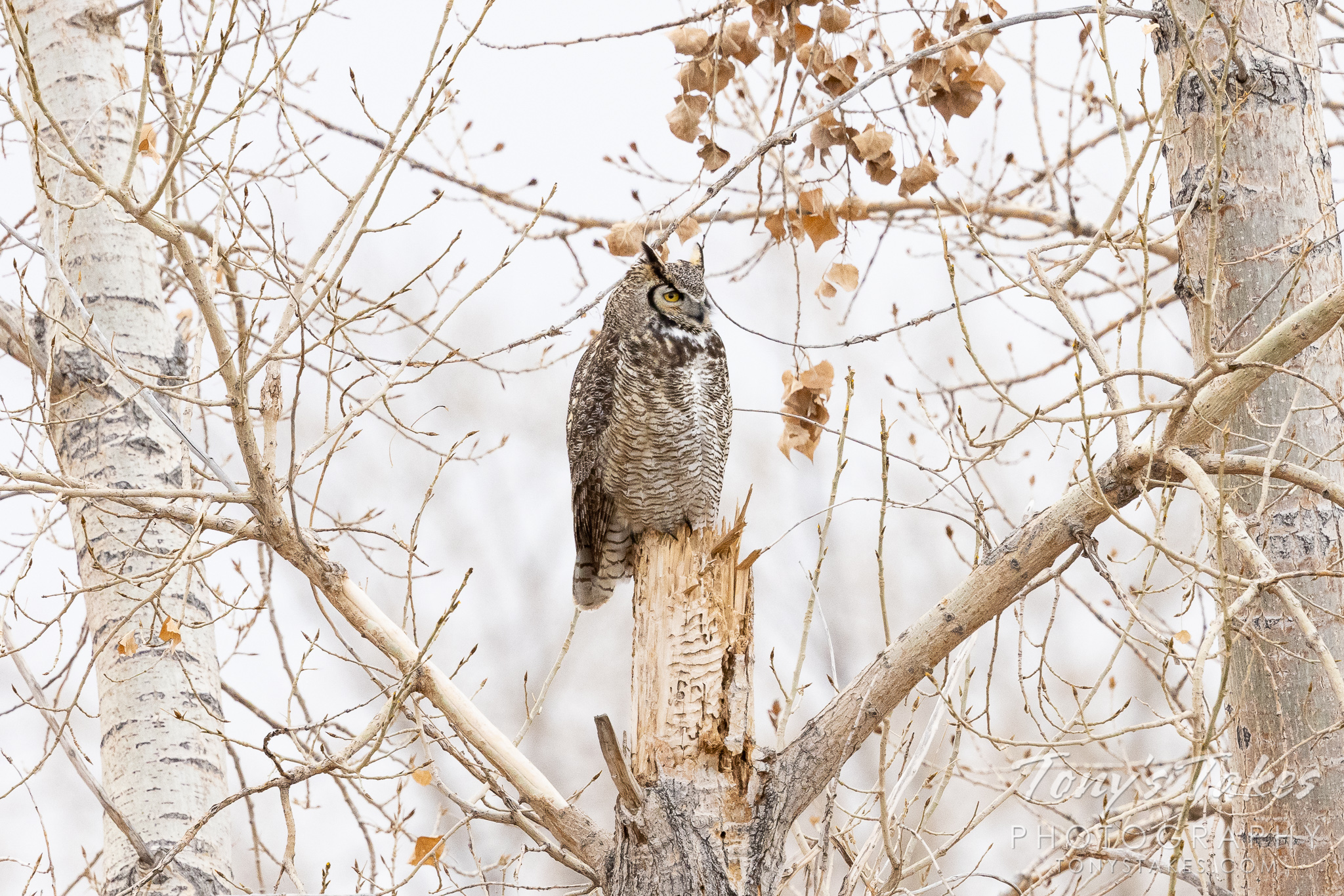 A great horned owl keeps watch on crows that were pestering it. (© Tony's Takes)