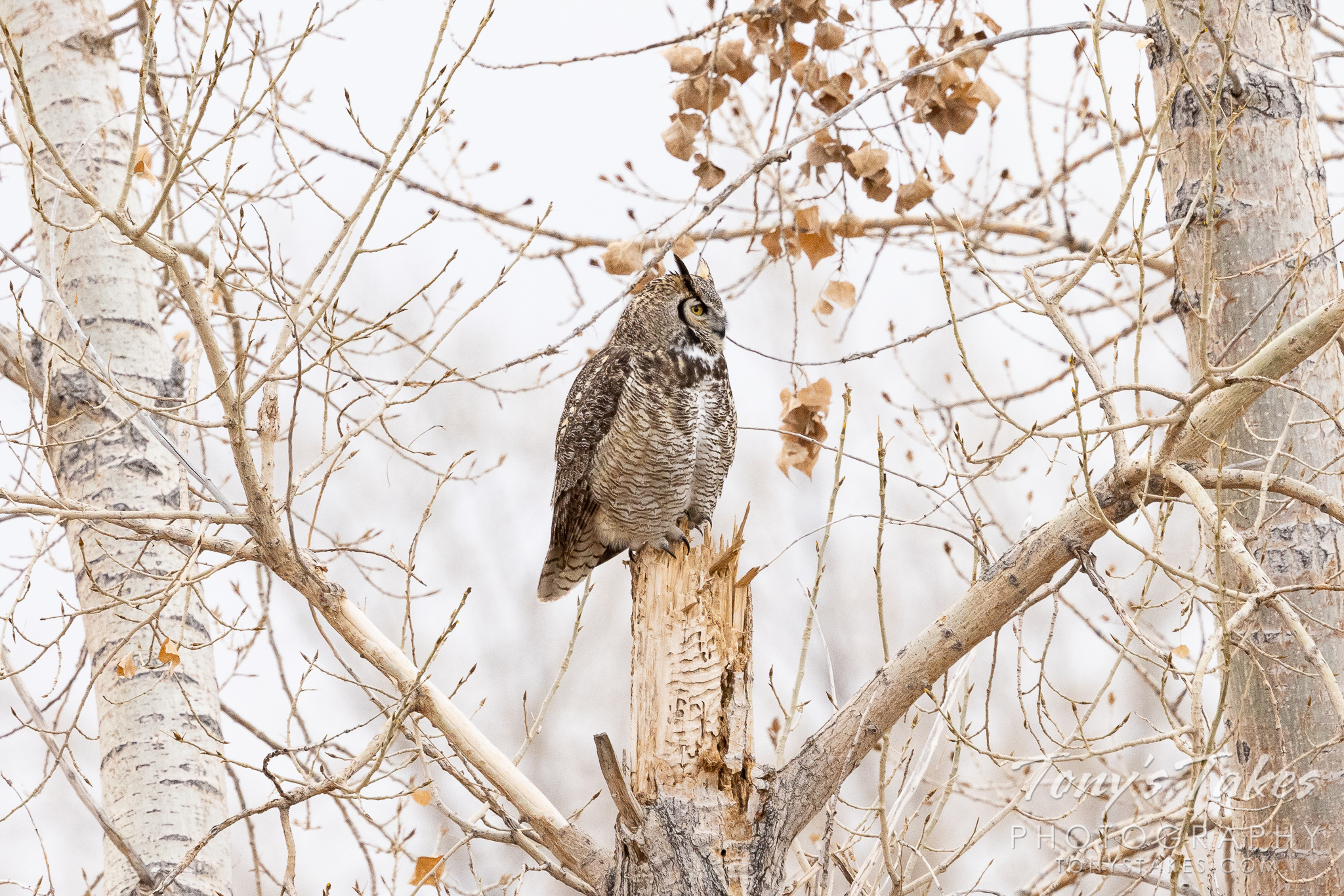 Great horned owl hangs out in the open