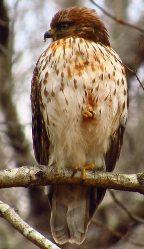 Hawk On A Branch. | by The Quiet Poet