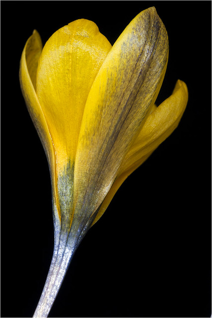 crocus korolkowii from a small corm