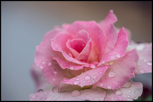rose pink pinkrose meilandrose macrorose seductionrose floribundarose floribunda seductionfloribundarose summer waterdroplets raindroplets