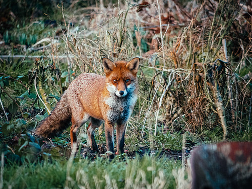 Fox at Alderman Moore's allotments