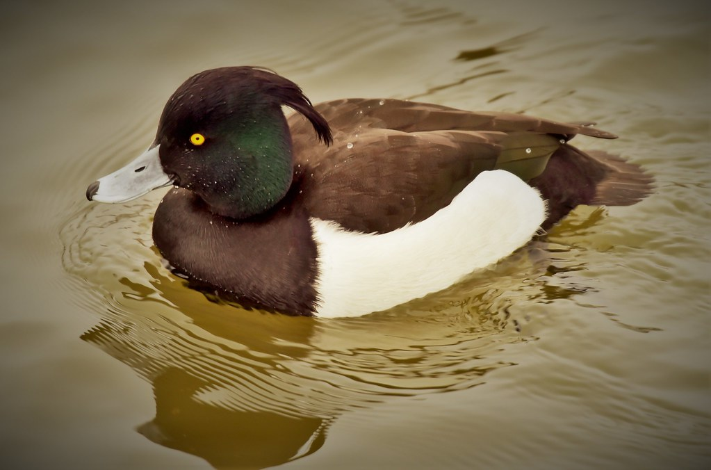 Tufted Male Duck