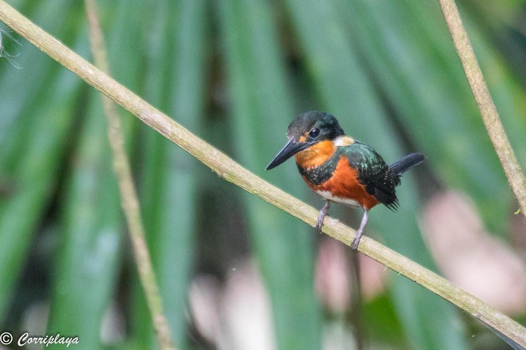 Martín pescador enano, Chloroceryle aenea, American Pygmy-kingfisher,