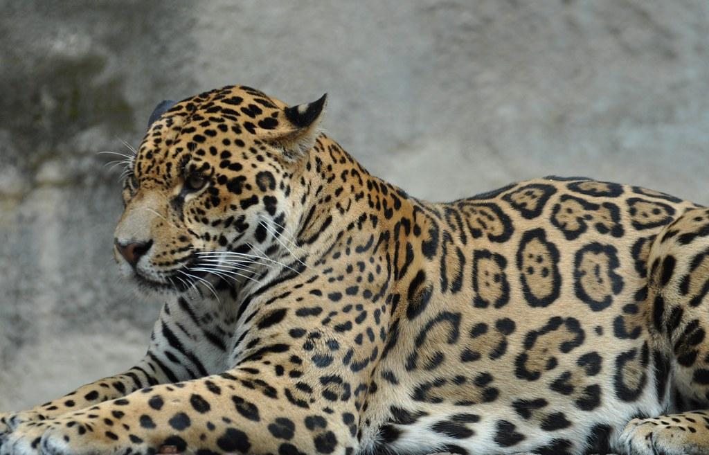 Panthera onca - Jaguar  - 28/06/17