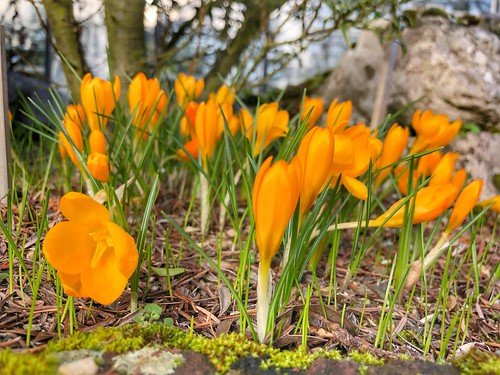 early springflowers @ Kruidtuin Leuven