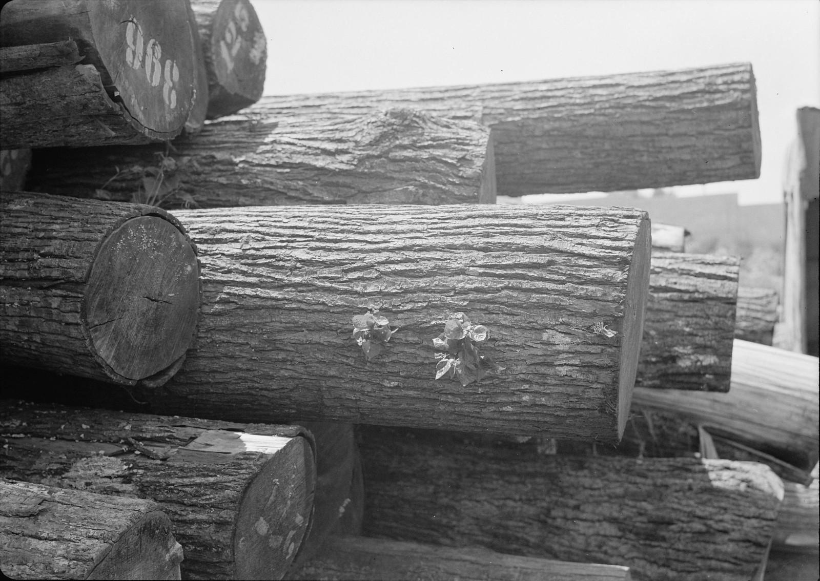 02. 1940. Шхем. Спичечная фабрика. Склад деревянных бревен, из которых будут делать спички