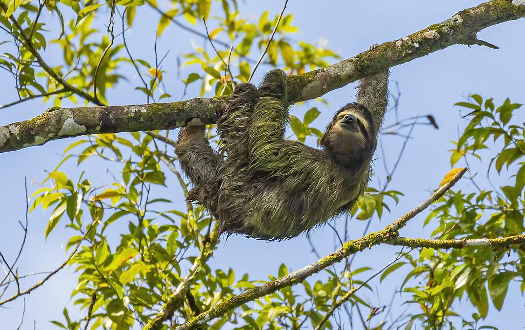 Three-toed sloth / Letidýr (Bradypus)