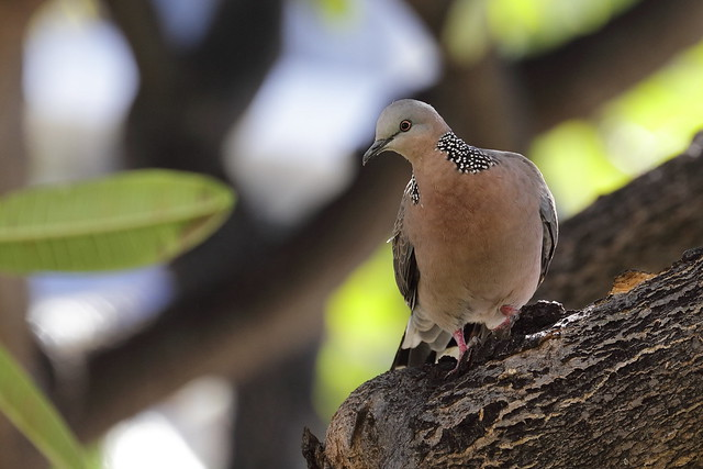 5DSR1096 View Large. Spotted Dove. Kaanapali, Maui Hawaii