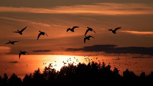 delta britishcolumbia kanada tsawwassen birds sunset silhouette
