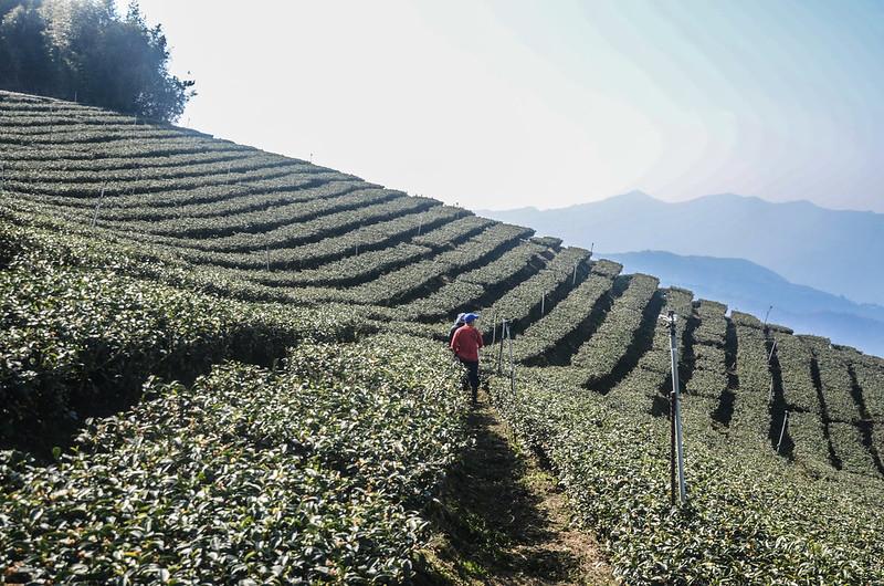 雙龍山茶園