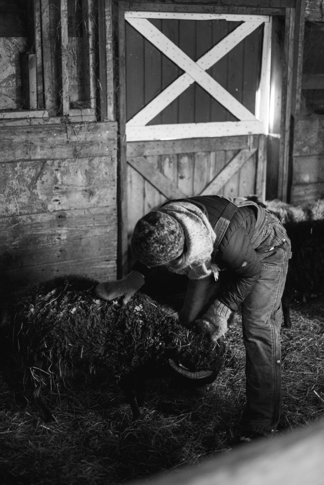 Shearing Day at Get Bentz Farm