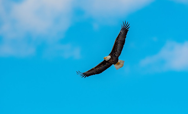 Bald Eagle-  Haliaeetus leucocephalus