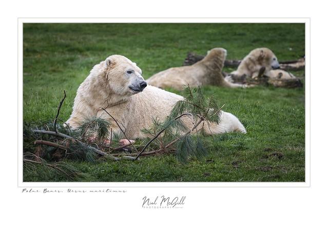Polar Bear-5079
