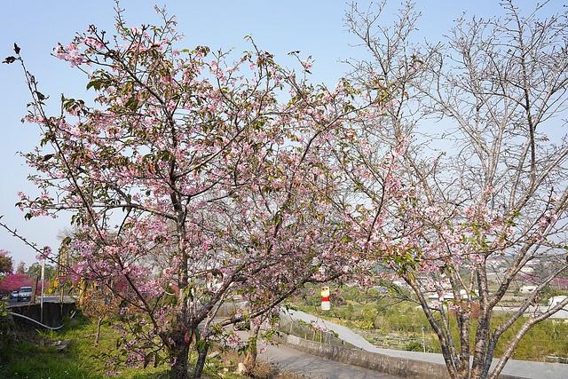 台中新社大南坡櫻花