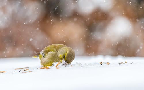 Greenfinch - Carduelis chloris - Groenling
