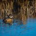 FInley Ring Neck Duck