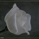 Textured White Lisianthus-7364-