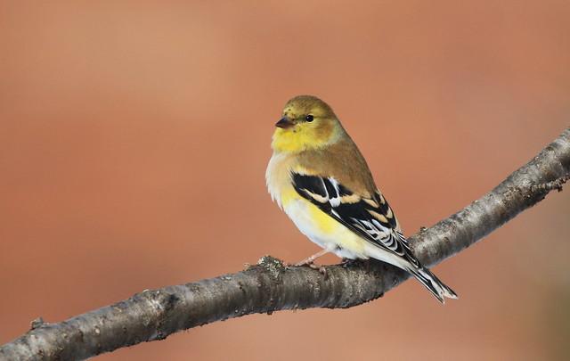 American Goldfinch / Chardonneret jaune ( Diane )