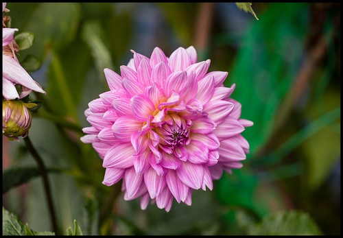 disco dahliadisco dahlia pink pinkstripes candystripes garden hornsby northernsydney pinkstripeddahlia variegated variegateddahlia candystripeddahlia