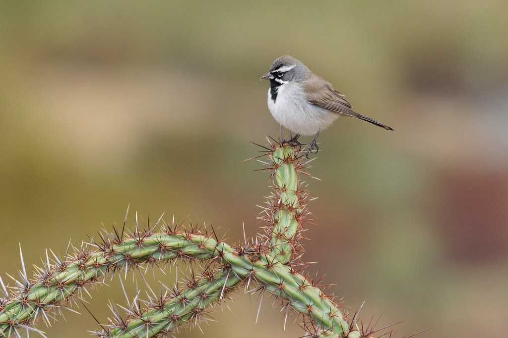 A black-throated sparrow perches atop a buckhorn cholla on the new interpretative trail at Fraesfield at McDowell Sonoran Preserve in Scottsdale, Arizona on January 24, 2021. Original: _RAC3574.arw