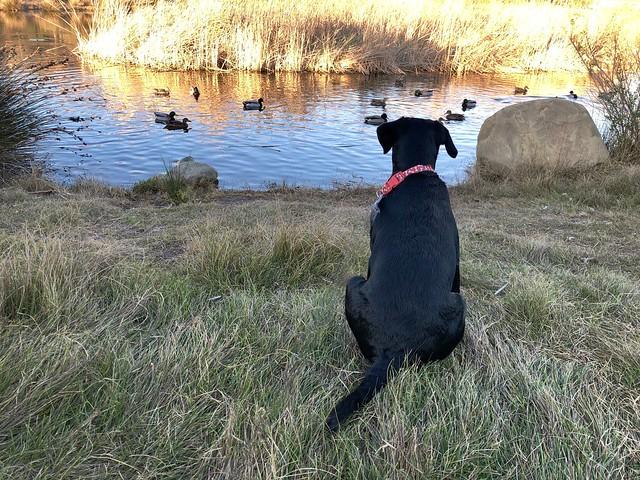 ducks in Legacy Park