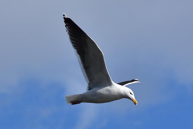 DSC_1086 Seagull @ Bayard Cutting Arboretum