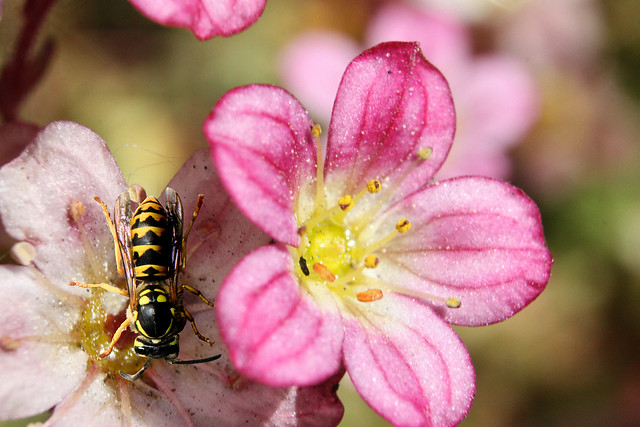 German wasp on a tufted saxifrage blossom
