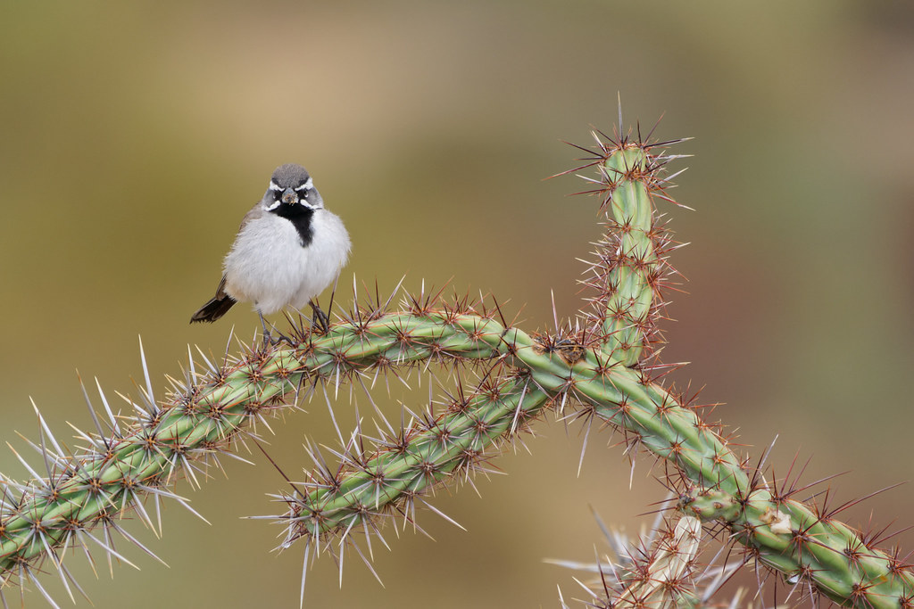 A black-throated sparrow perches in a buckhorn cholla on the new interpretative trail at Fraesfield at McDowell Sonoran Preserve in Scottsdale, Arizona on January 24, 2021. Original: _RAC3614.arw