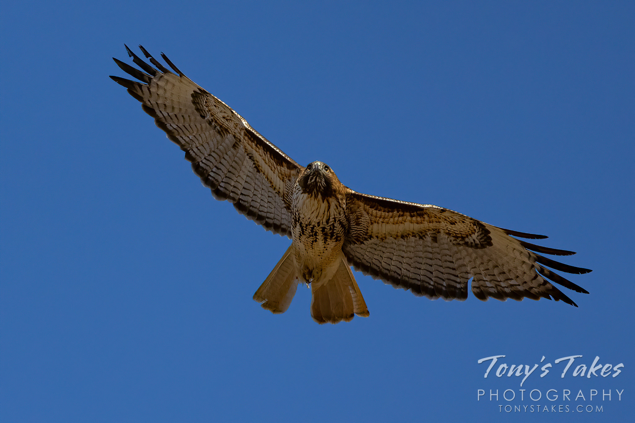 ed-tailed hawk flies over while on the hunt