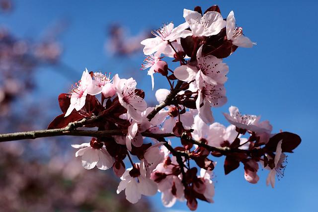 20210207 purple-plum-blossoms-closeup