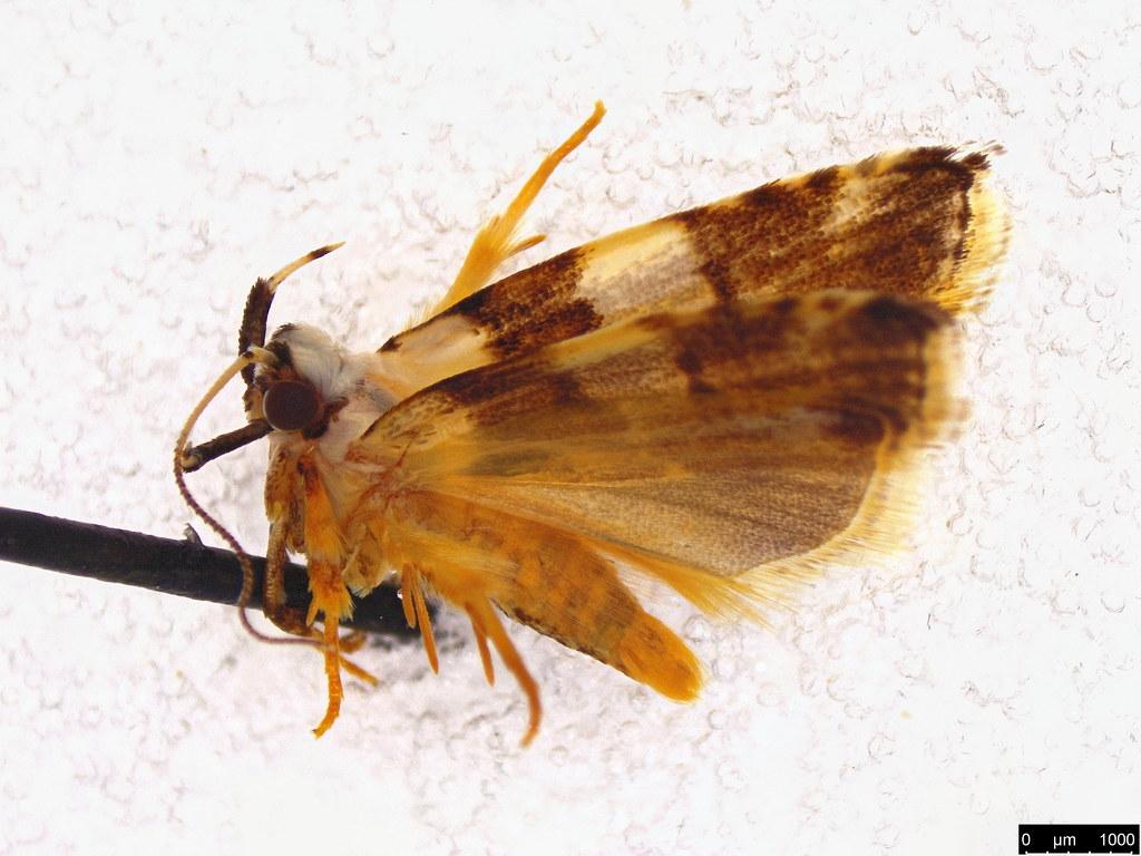 7 - Ardozyga abruptella (Walker, 1864)
