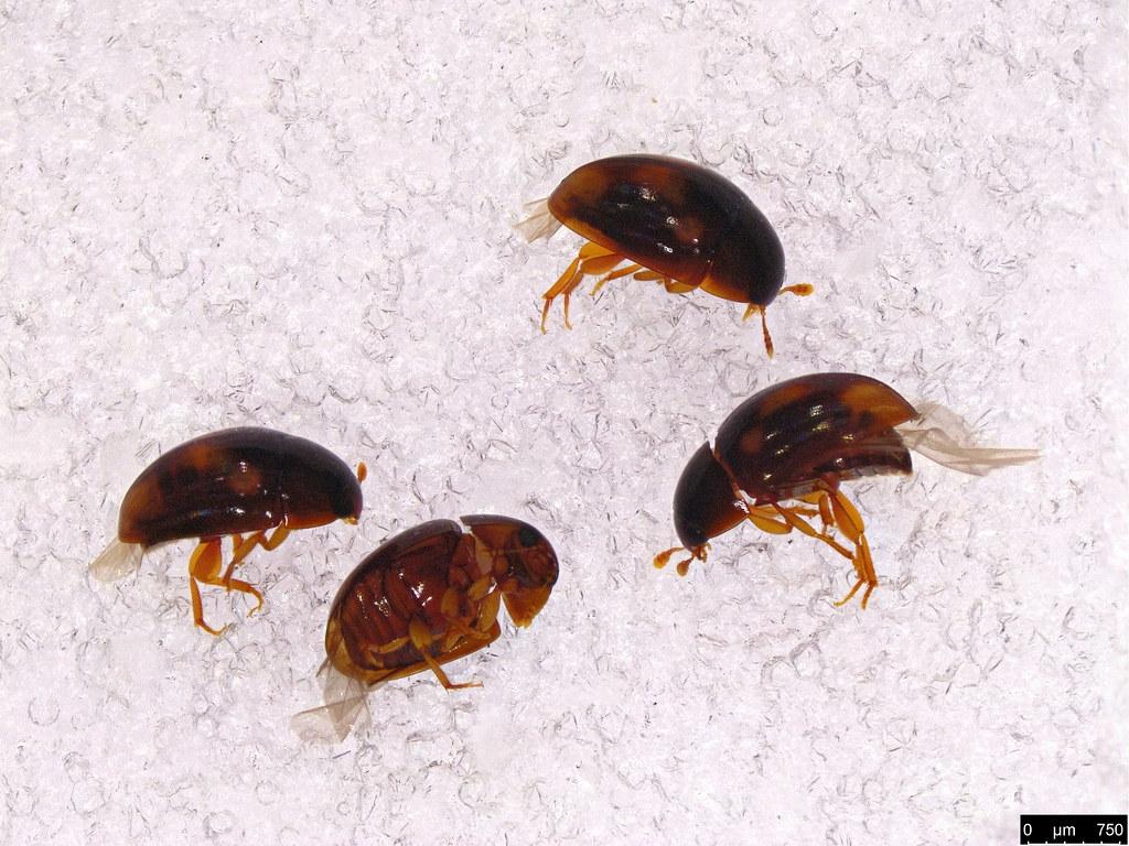 13a - Phalacridae sp.