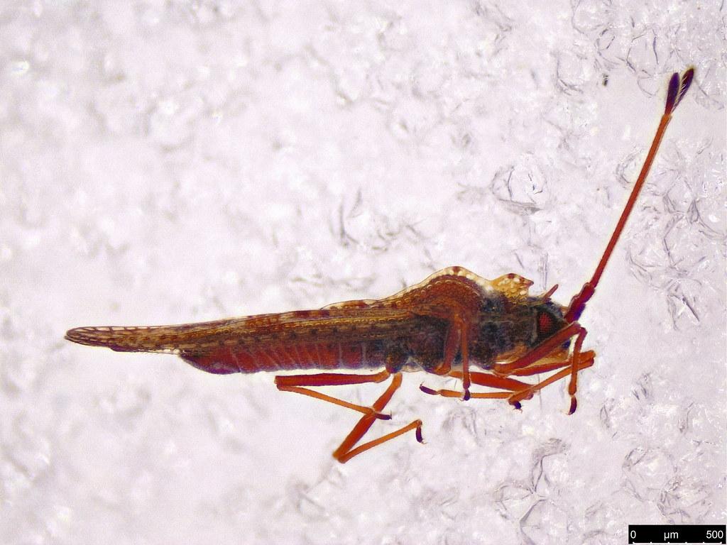 16a - Ulonemia burckhardti Péricart, 1992