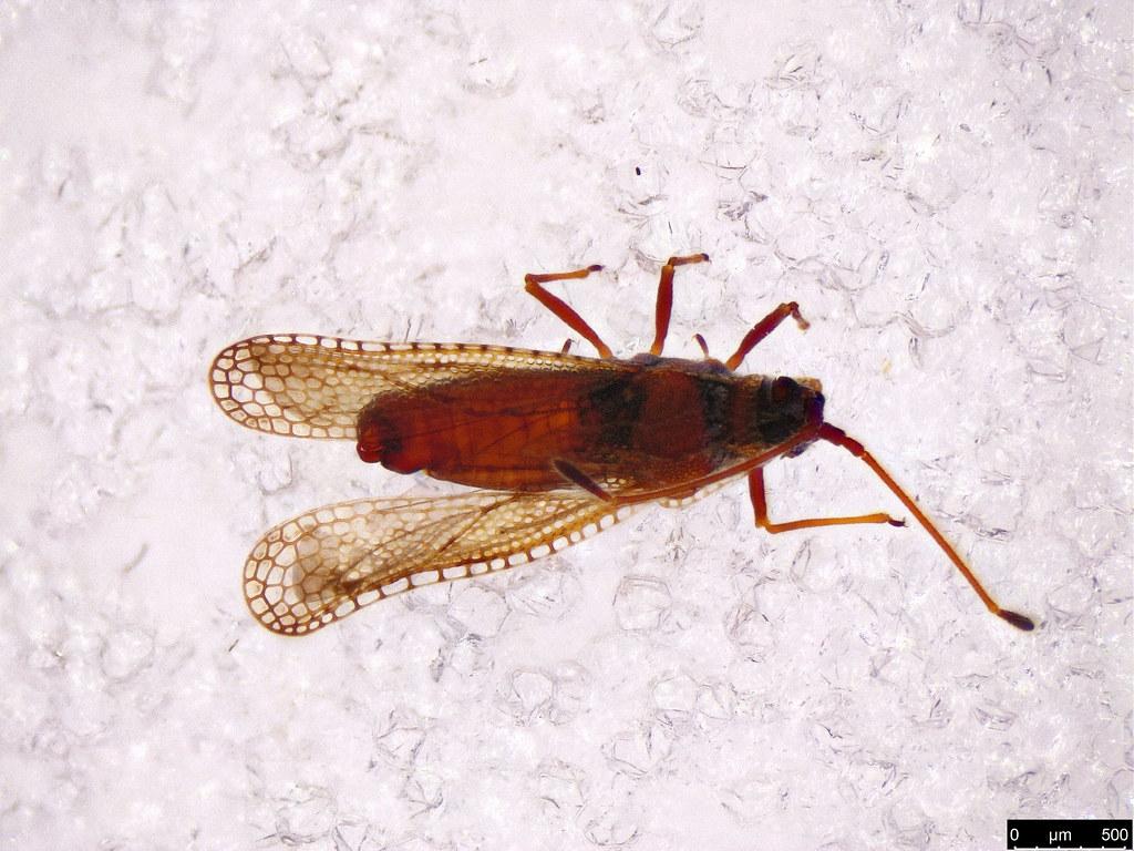 17a - Ulonemia burckhardti Péricart, 1992