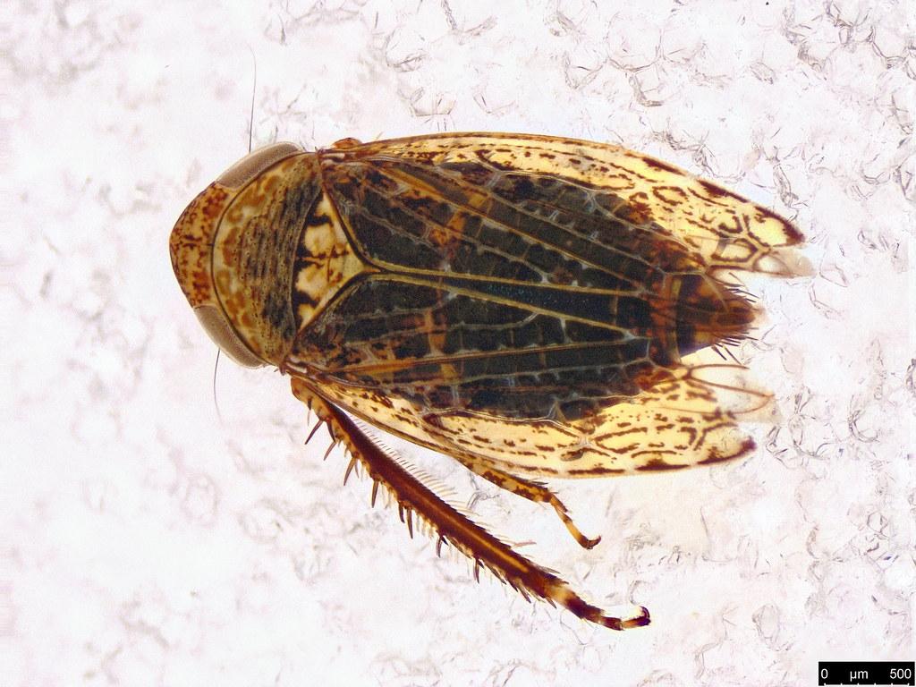 21 - Cicadellidae sp.