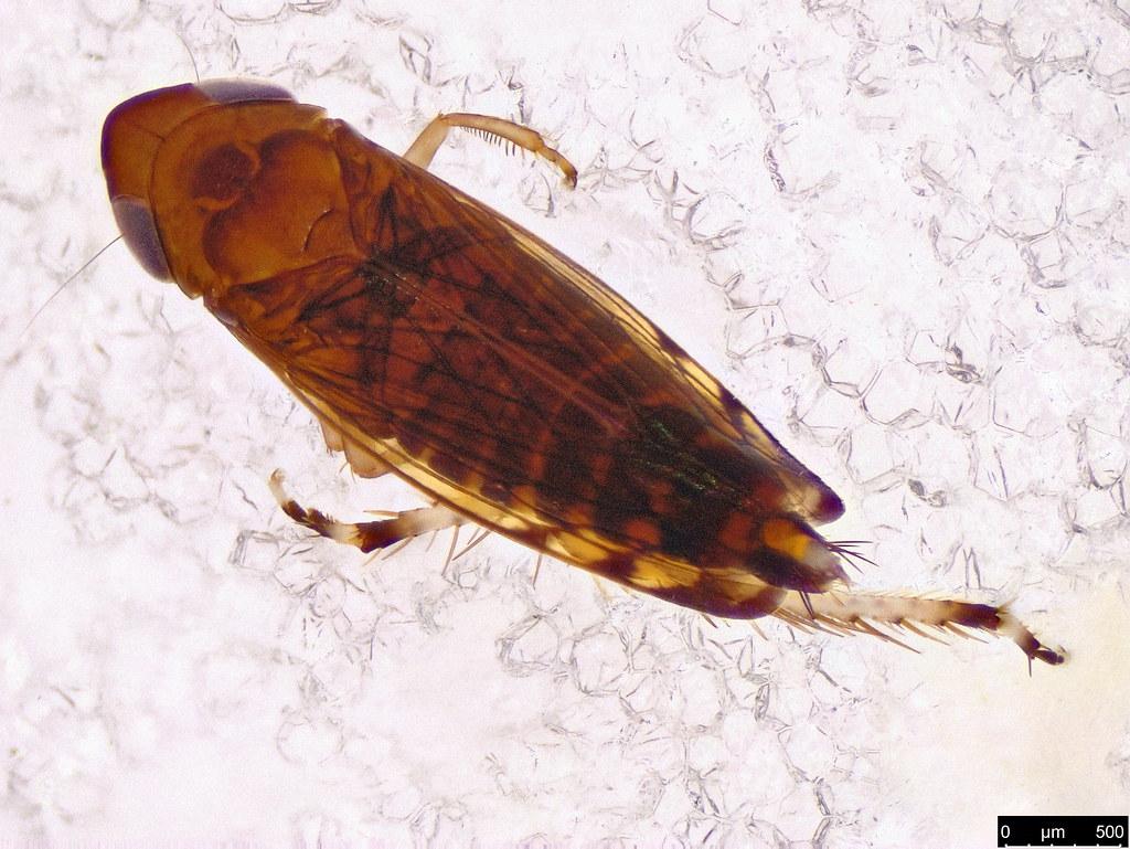 22a - Cicadellidae sp.