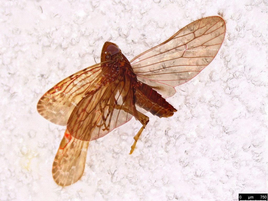 23 - Cicadellidae sp.