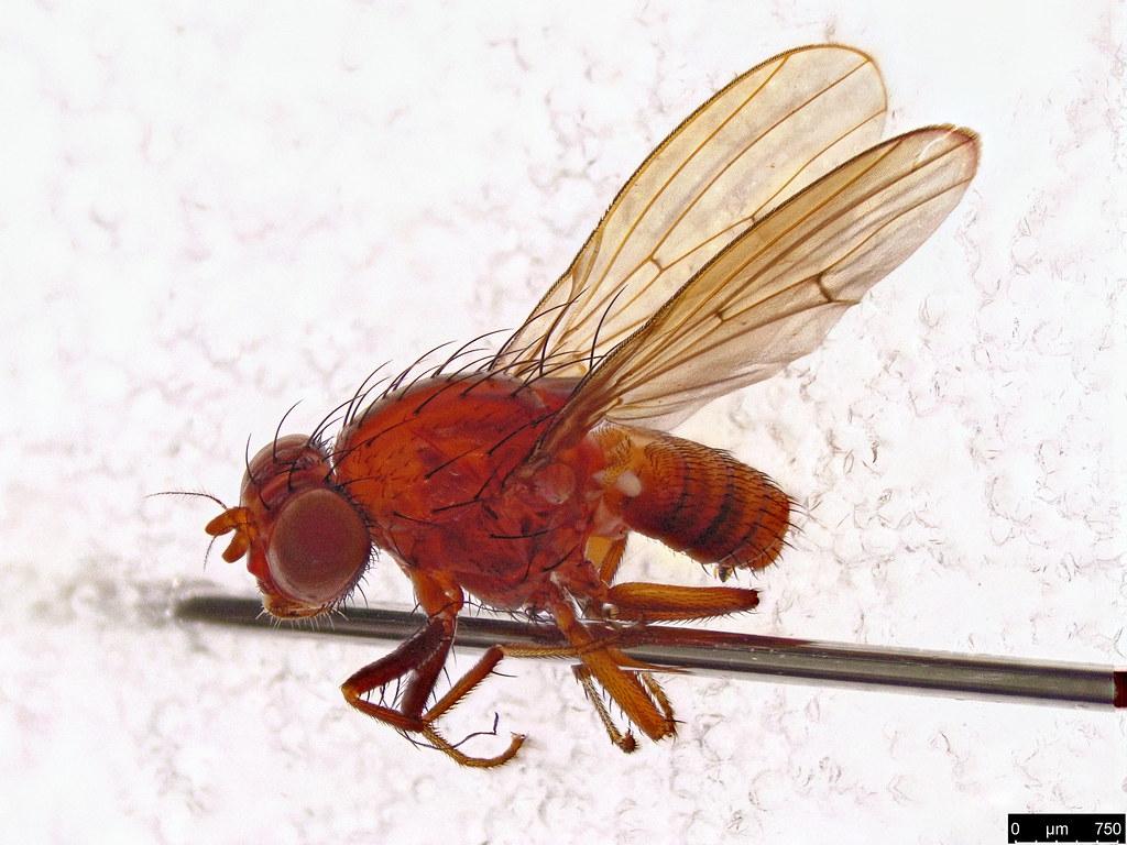 28 - Diptera sp.