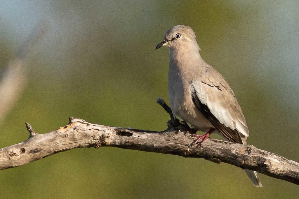 Rolinha-picuí (Columbina picui) Picui Ground-Dove