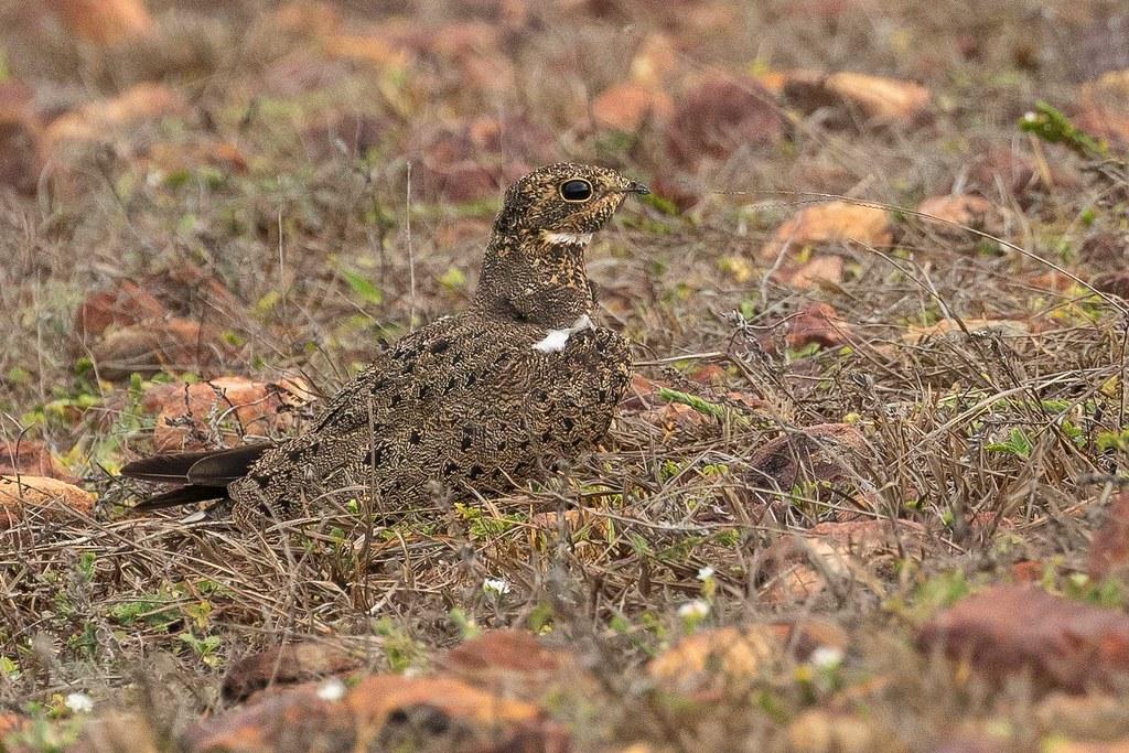 Corucão (Podager nacunda) Nacunda Nighthawk