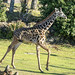"<p><a href=""https://www.flickr.com/people/hrother/"">Harry Rother</a> posted a photo:</p>  <p><a href=""https://www.flickr.com/photos/hrother/50922001686/"" title=""Young Masai Giraffe""><img src=""https://live.staticflickr.com/65535/50922001686_9ffc039832_m.jpg"" width=""240"" height=""192"" alt=""Young Masai Giraffe"" /></a></p>  <p>Disney Animal KIngdom</p>"