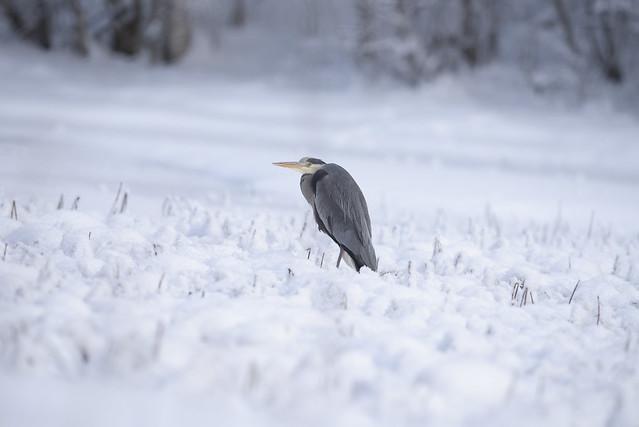 Grey heron ( grå hegre)