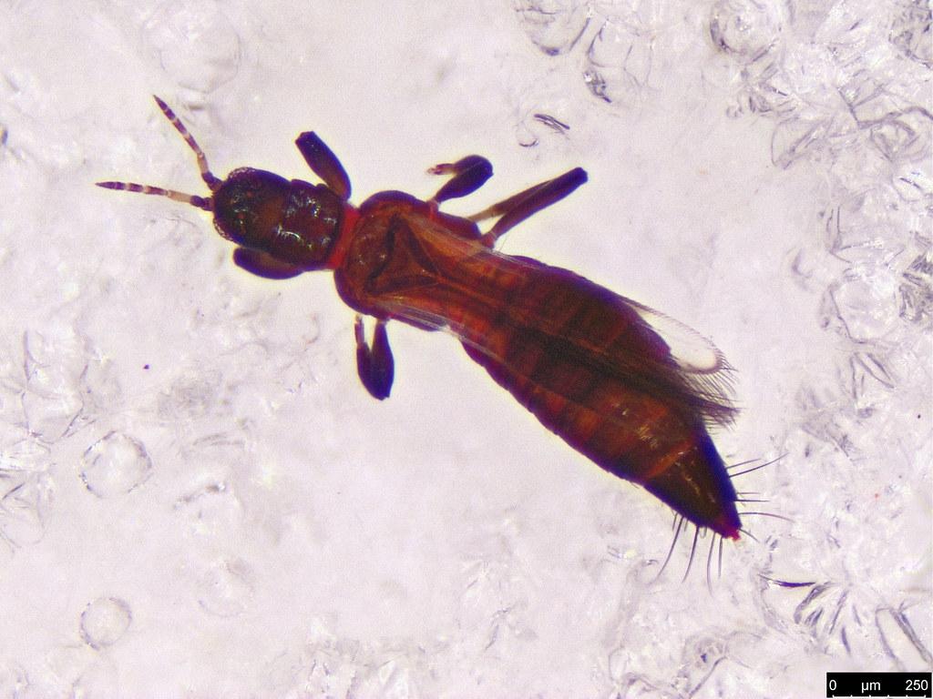 2c - Thysanoptera sp.