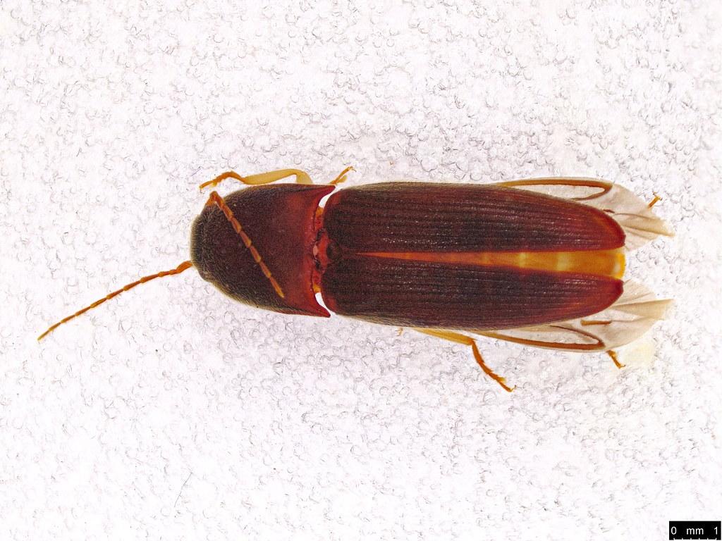 10a - Glyphochilus sp.