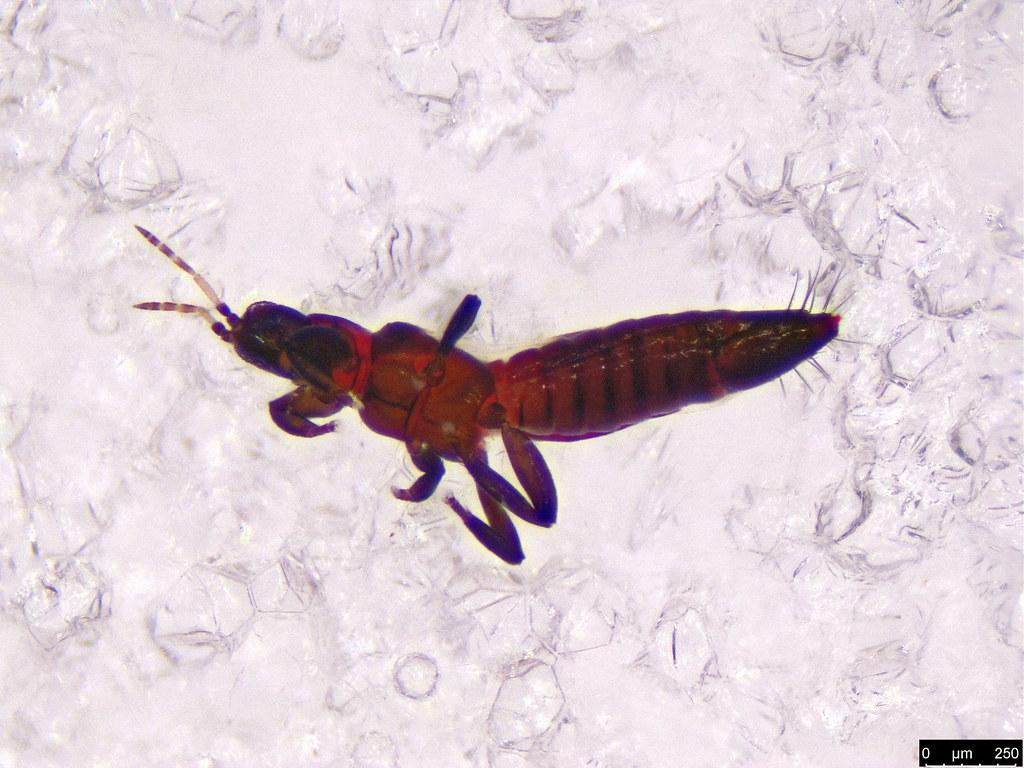 2a - Thysanoptera sp.