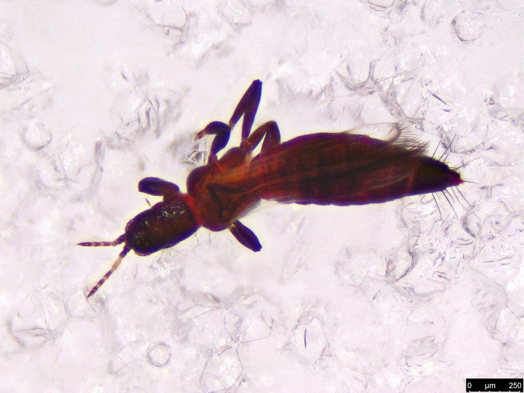 2b - Thysanoptera sp.
