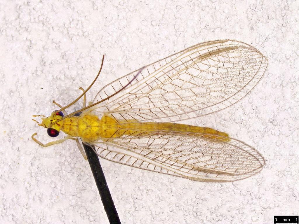 4 - Mallada signatus (Schneider, 1851)