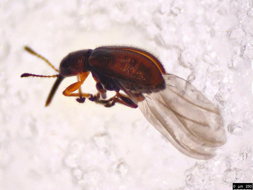 11b - Attelabidae sp.
